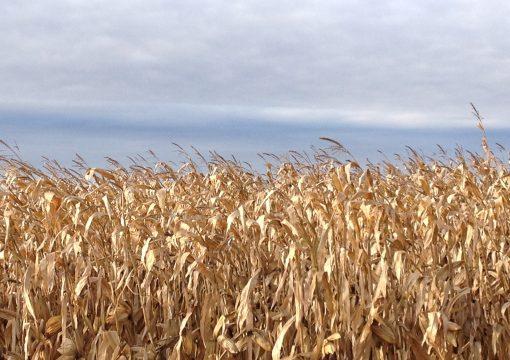 Soutien aux producteurs de maïs-grain à la suite de la grève du CN